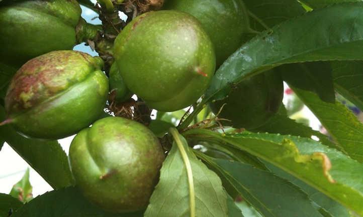 Unripe nectarines