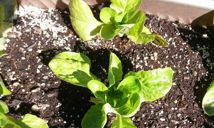 Young leaf lettuce