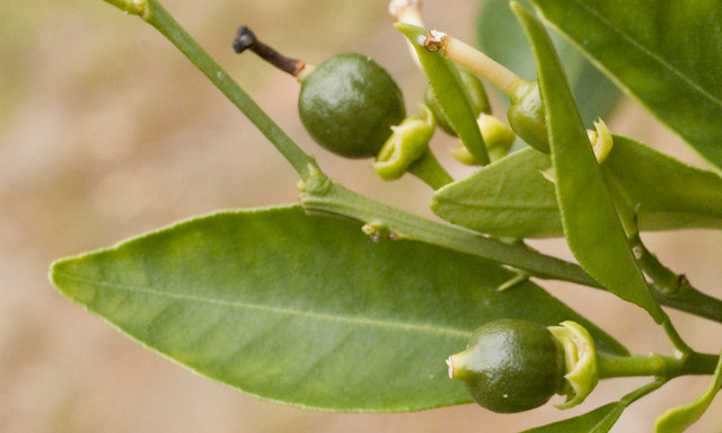Tiny green fruit