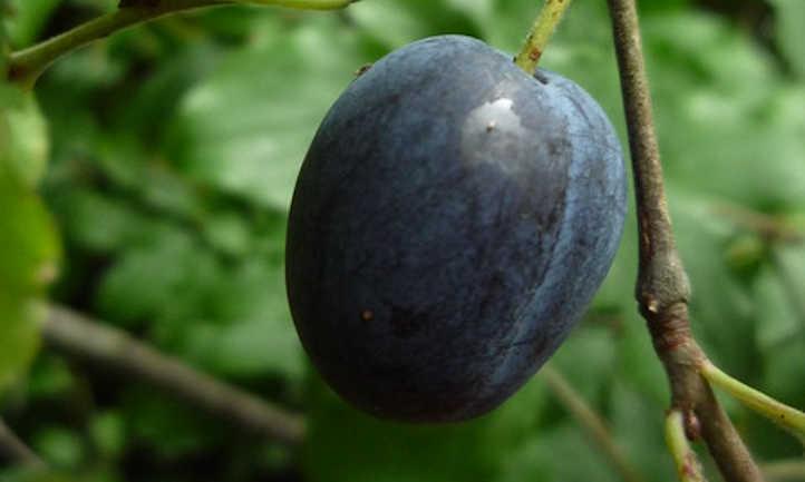 Blue plum tree