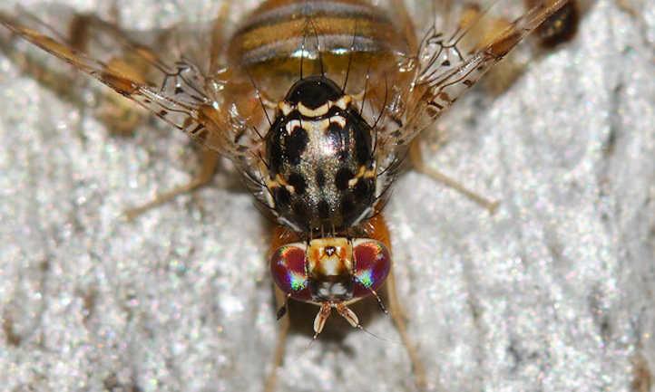 Ceratitis spp. Fruit Fly