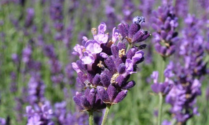 Closeup of lavender flower