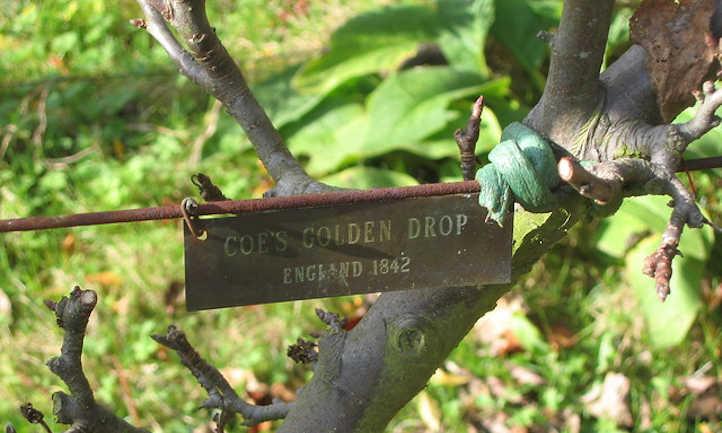 Coe's Golden Drop plum tree