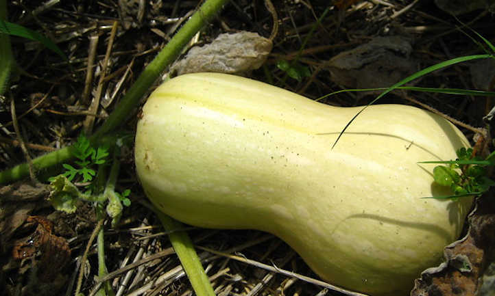 Green unripe squash