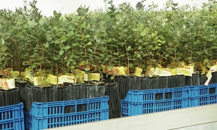 Inoculated truffle trees