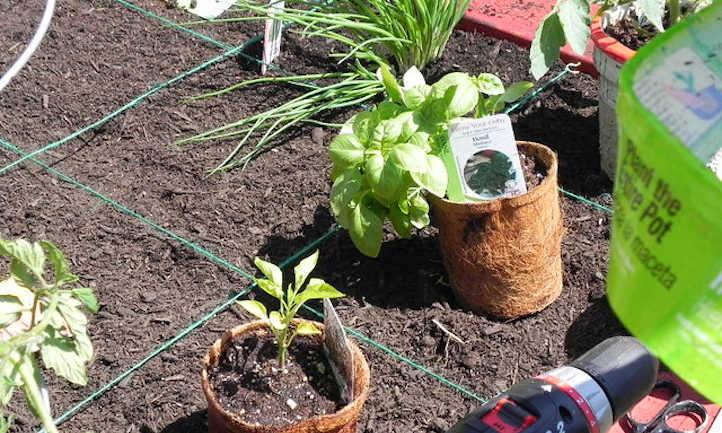 Pepper companion plants