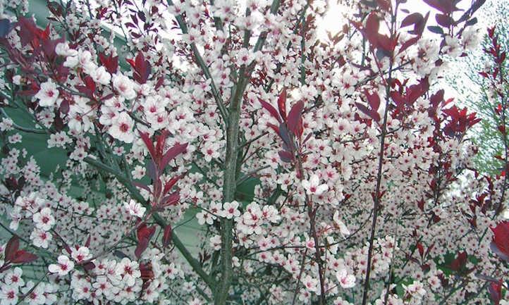 Prunus atropurpurea