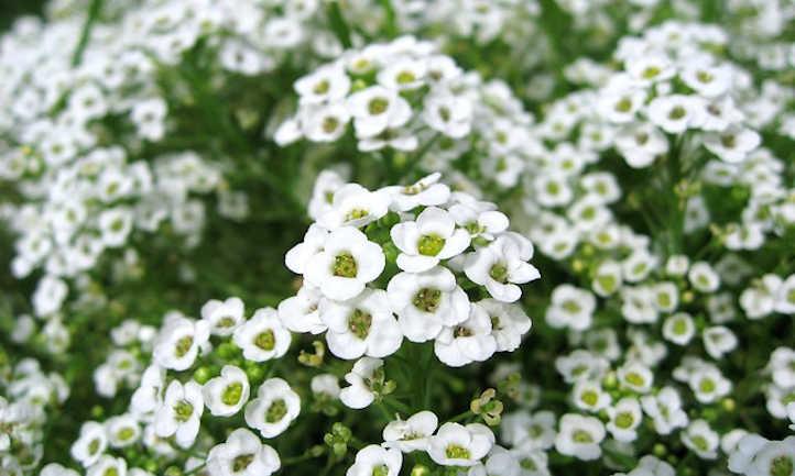 White alyssum flowers