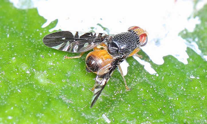 Xanthaciura spp. Fruit Fly