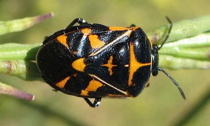 Adult harlequin bug