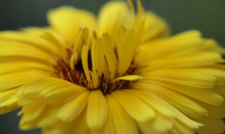 Center of marigold