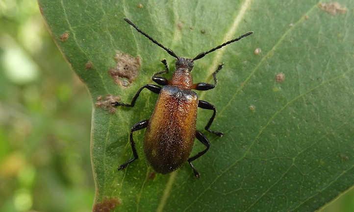Ecnolagia grandis black beetle