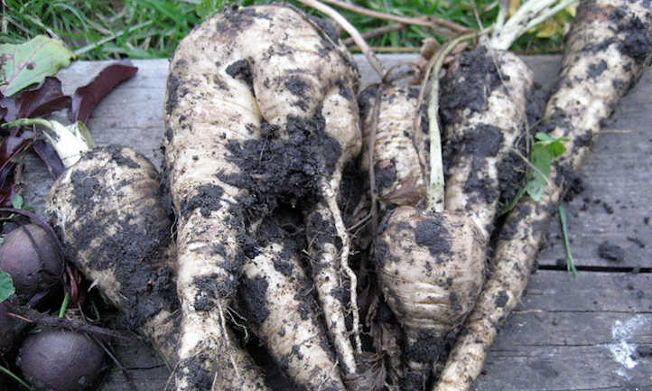 Forked parsnips