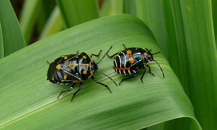 Harlequin bug nymph and adult
