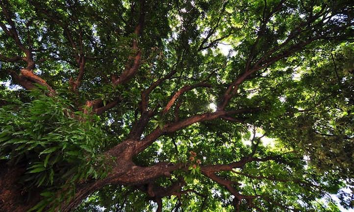 View of the mango tree