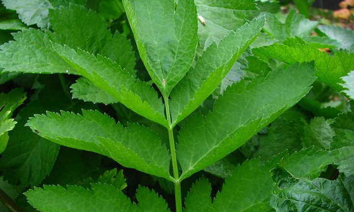 Parsnip leaves