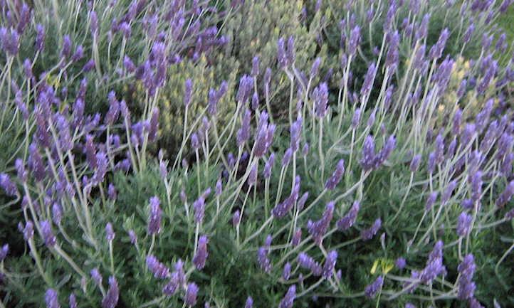 Propagating lavender