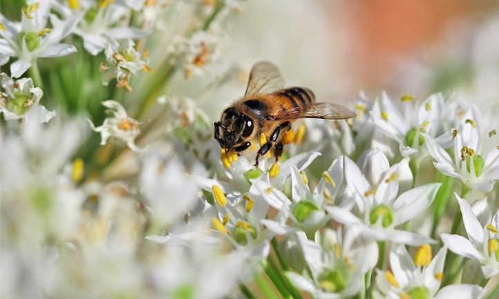 Bee on society garlic