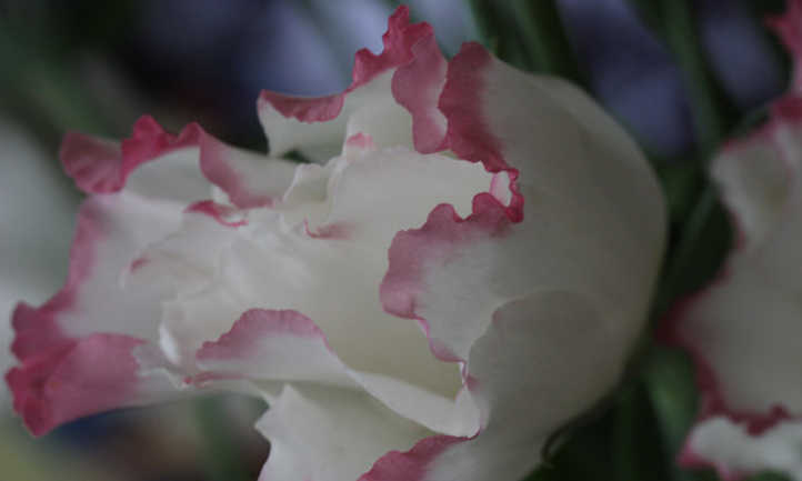 Two-colored Lisianthus