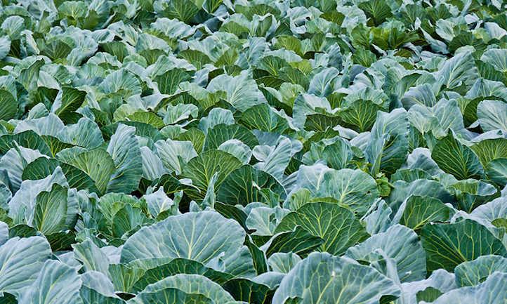 Cabbage companion plants