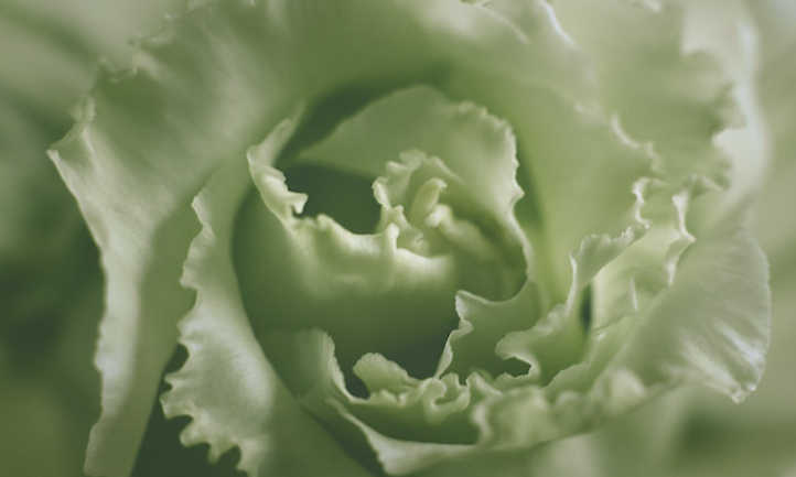 Close up of a green lisianthus