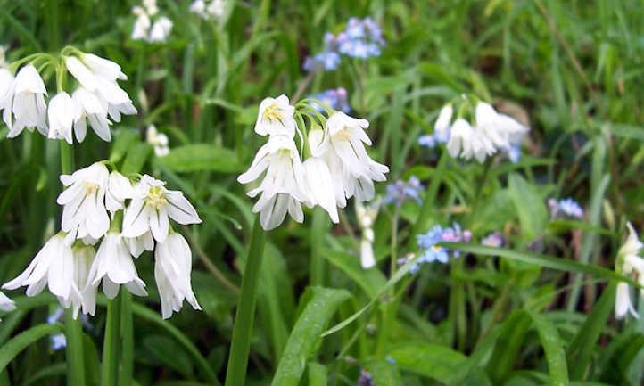 White society garlic flowers
